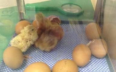 Living Eggs Day 3 !